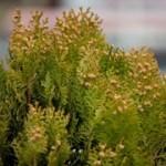 2013年の花粉は大量飛散?花粉症の方は要注意!
