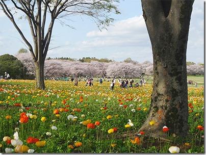 昭和記念公園の桜とポピー18年ぶりの同時開花