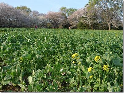 昭和記念公園菜の花