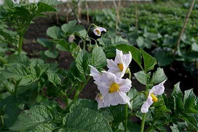 札幌の家庭菜園で子供と食育