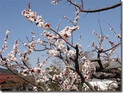 日和田山巾着田桜